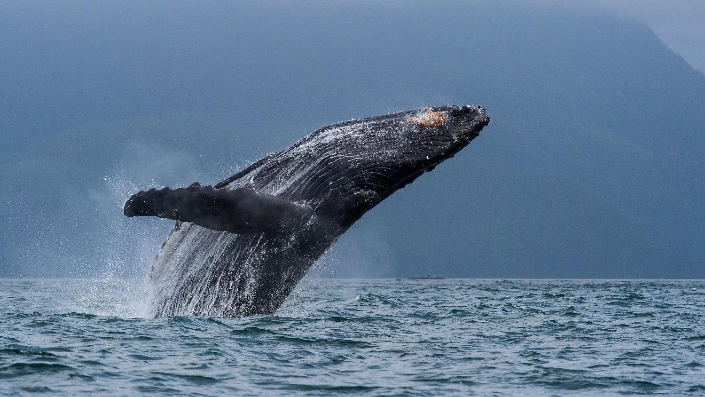 精灵4和OSMO记录阿拉斯加座头鲸出水